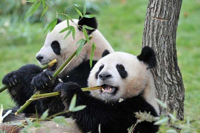 Две большие панды будут возвращены Китаю