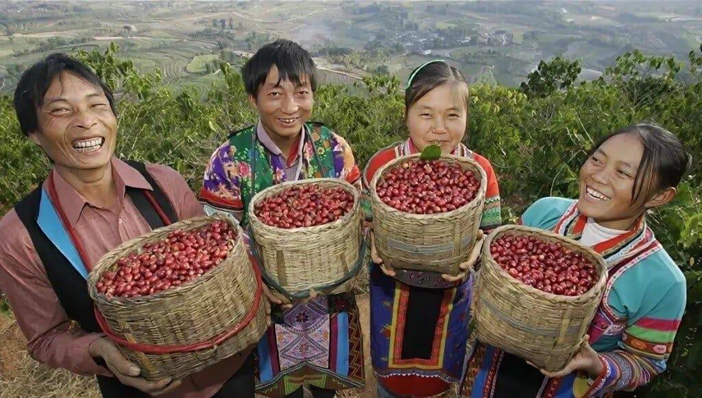 Выращивание кофе в Китае